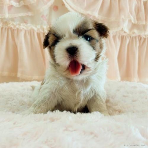シーズーの子犬(ID:1256811054)の2枚目の写真/更新日:2017-05-30