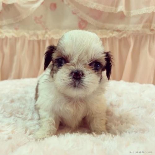 シーズーの子犬(ID:1256811055)の1枚目の写真/更新日:2017-05-30