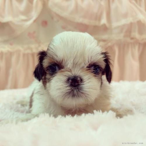 シーズーの子犬(ID:1256811055)の2枚目の写真/更新日:2017-05-30