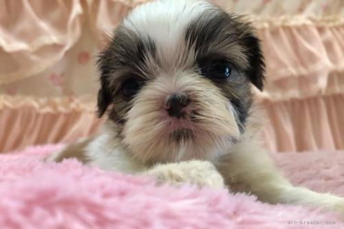 シーズーの子犬(ID:1256811073)の1枚目の写真/更新日:2018-06-18