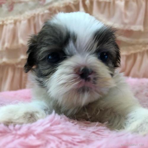 シーズーの子犬(ID:1256811073)の2枚目の写真/更新日:2018-06-18