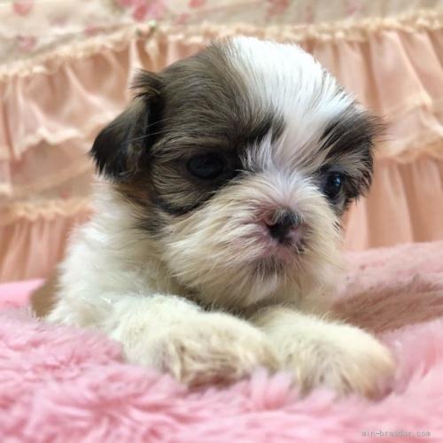 シーズーの子犬(ID:1256811073)の3枚目の写真/更新日:2018-06-18