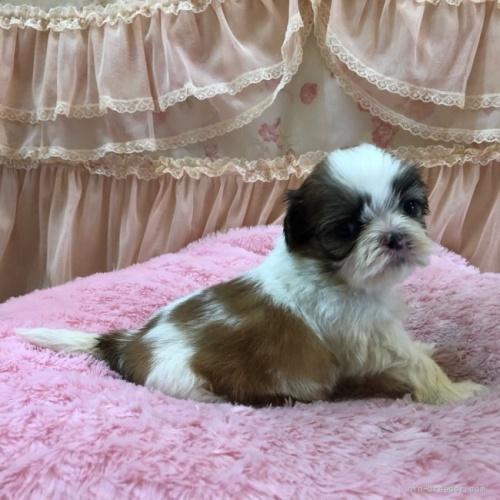 シーズーの子犬(ID:1256811073)の4枚目の写真/更新日:2018-06-18