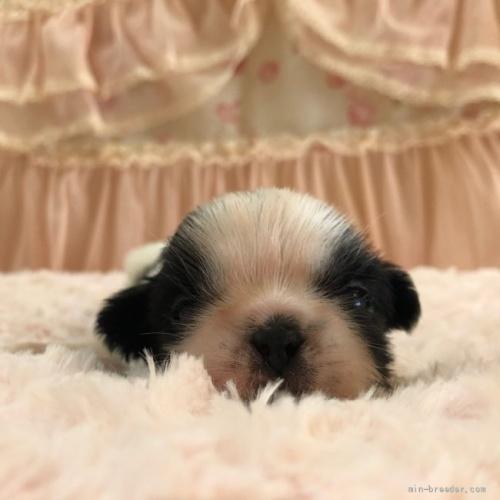 シーズーの子犬(ID:1256811074)の1枚目の写真/更新日:2018-06-18