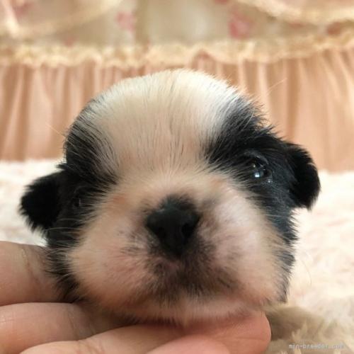 シーズーの子犬(ID:1256811074)の2枚目の写真/更新日:2018-06-18
