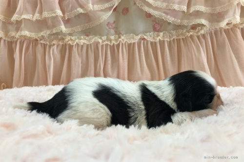 シーズーの子犬(ID:1256811074)の3枚目の写真/更新日:2018-06-18