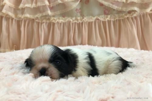 シーズーの子犬(ID:1256811074)の4枚目の写真/更新日:2018-06-18