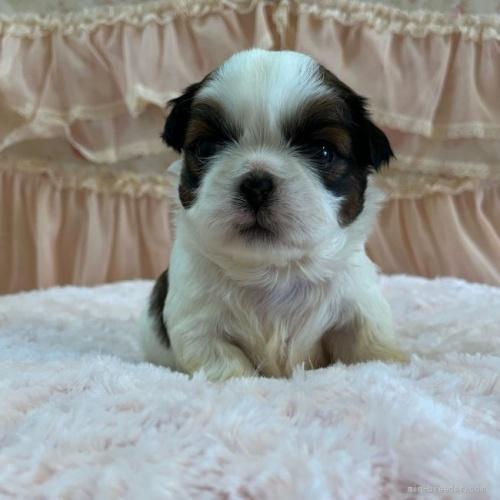 シーズーの子犬(ID:1256811075)の1枚目の写真/更新日:2018-06-18