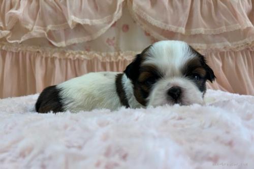 シーズーの子犬(ID:1256811075)の3枚目の写真/更新日:2018-06-18