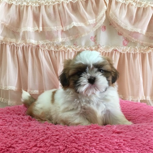 シーズーの子犬(ID:1256811077)の3枚目の写真/更新日:2018-10-10