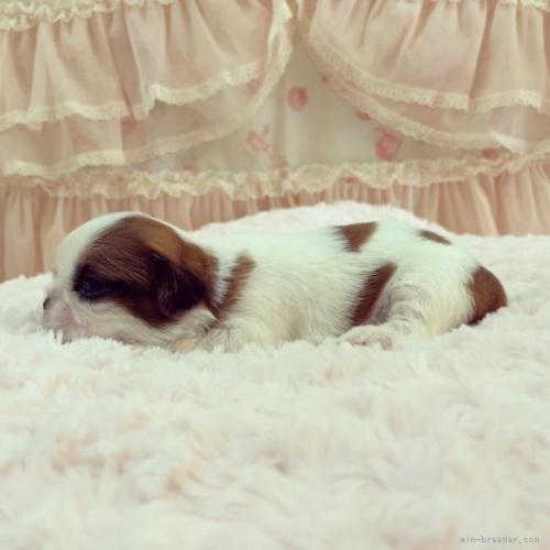 シーズーの子犬(ID:1256811077)の4枚目の写真/更新日:2018-10-10