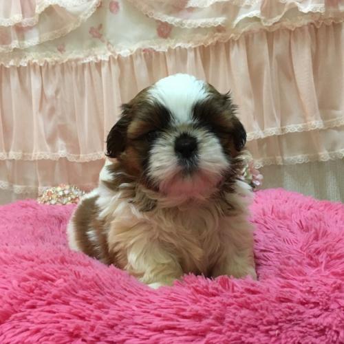 シーズーの子犬(ID:1256811078)の1枚目の写真/更新日:2018-11-12