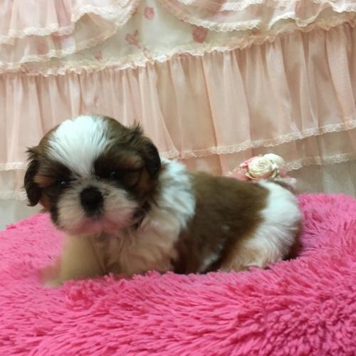 シーズーの子犬(ID:1256811078)の3枚目の写真/更新日:2018-11-12