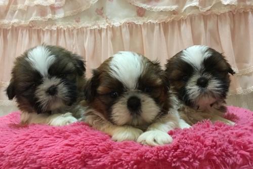 シーズーの子犬(ID:1256811078)の5枚目の写真/更新日:2018-11-12