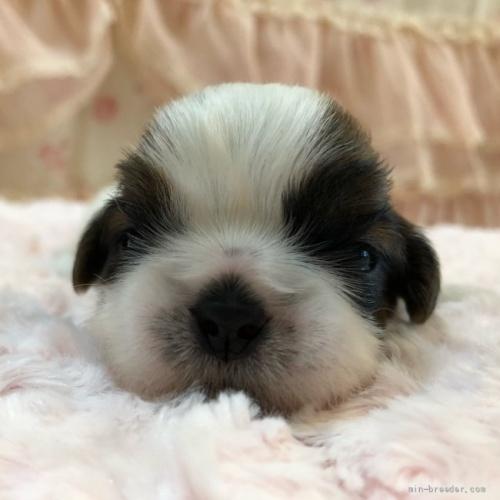 シーズーの子犬(ID:1256811079)の1枚目の写真/更新日:2021-10-11