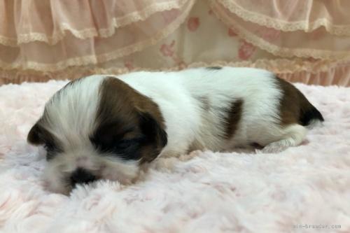 シーズーの子犬(ID:1256811079)の2枚目の写真/更新日:2021-10-11