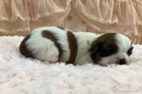 シーズーの子犬(ID:1256811079)の3枚目の写真/更新日:2021-10-11