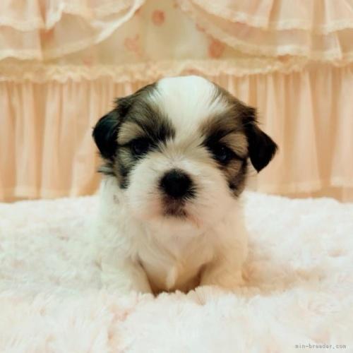 シーズーの子犬(ID:1256811080)の1枚目の写真/更新日:2018-11-12