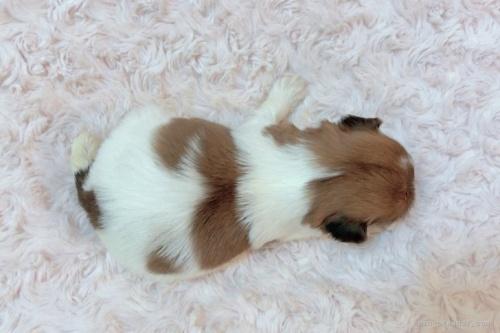 シーズーの子犬(ID:1256811088)の4枚目の写真/更新日:2019-02-02