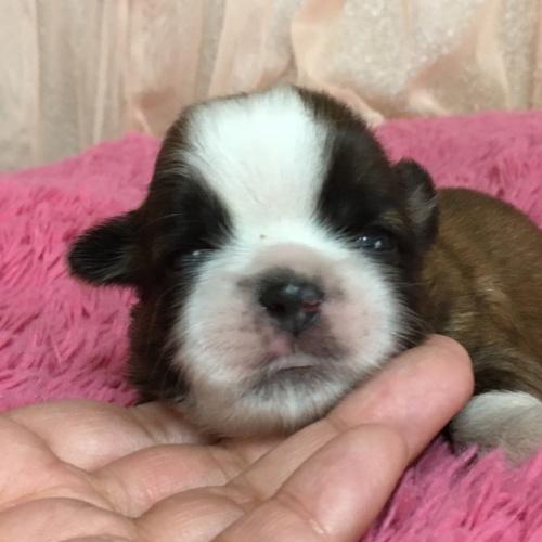 シーズーの子犬(ID:1256811097)の2枚目の写真/更新日:2019-05-30
