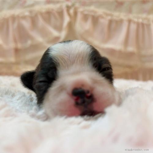 ボストンテリアの子犬(ID:1256811101)の2枚目の写真/更新日:2019-12-12