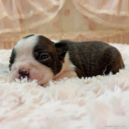 ボストンテリアの子犬(ID:1256811101)の3枚目の写真/更新日:2019-12-12