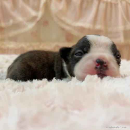 ボストンテリアの子犬(ID:1256811101)の4枚目の写真/更新日:2019-12-12