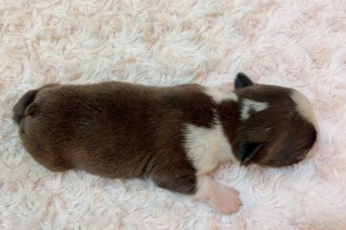 ボストンテリアの子犬(ID:1256811102)の4枚目の写真/更新日:2019-12-12