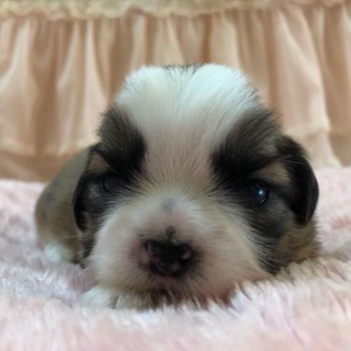 シーズーの子犬(ID:1256811122)の1枚目の写真/更新日:2021-07-28