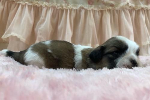 シーズーの子犬(ID:1256811122)の2枚目の写真/更新日:2021-07-28