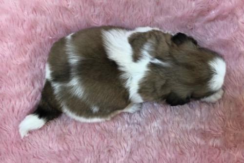 シーズーの子犬(ID:1256811122)の4枚目の写真/更新日:2021-07-28