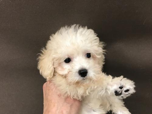 トイプードルの子犬(ID:1257411058)の1枚目の写真/更新日:2017-08-04