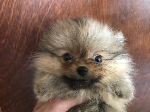 ポメラニアンの子犬(ID:1257411059)の1枚目の写真/更新日:2017-08-04