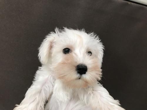 ミニチュアシュナウザーの子犬(ID:1257411061)の1枚目の写真/更新日:2017-08-04