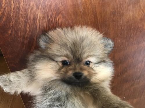 ポメラニアンの子犬(ID:1257411062)の1枚目の写真/更新日:2017-08-04