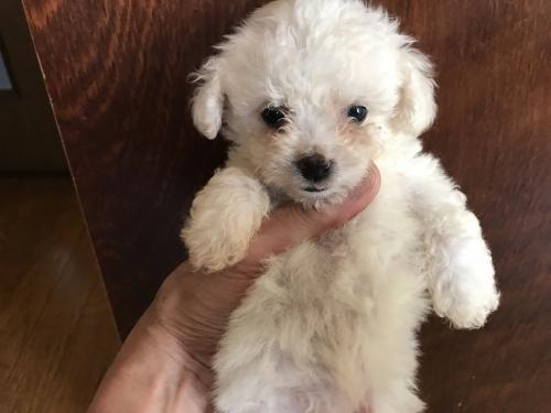 ビションフリーゼの子犬(ID:1257411063)の1枚目の写真/更新日:2017-08-04