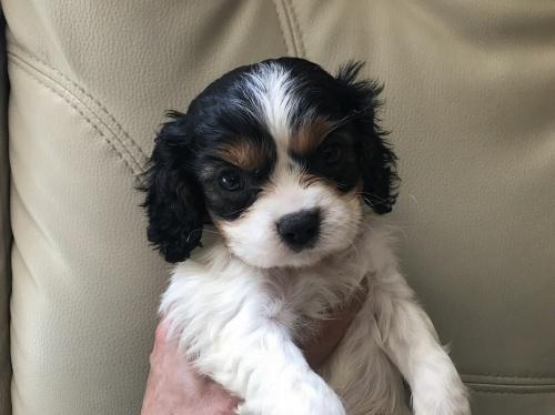 キャバリアの子犬(ID:1257411065)の1枚目の写真/更新日:2017-08-04