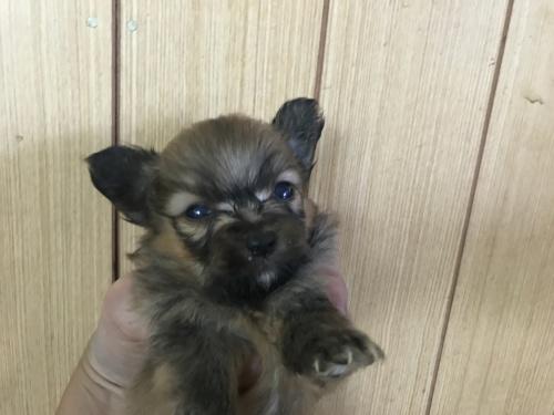 ミックスの子犬(ID:1257411070)の1枚目の写真/更新日:2017-08-04