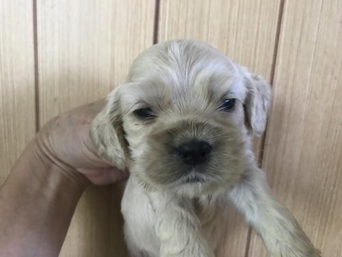 アメリカンコッカースパニエルの子犬(ID:1257411073)の1枚目の写真/更新日:2017-08-04