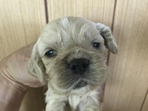 アメリカンコッカースパニエルの子犬(ID:1257411074)の1枚目の写真/更新日:2017-08-04