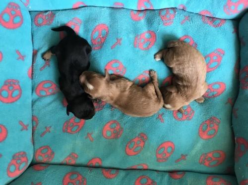 キャバリアの子犬(ID:1257411083)の1枚目の写真/更新日:2017-08-04