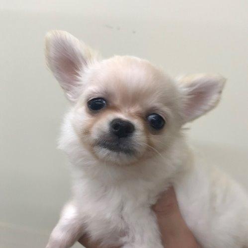 チワワ(ロング)の子犬(ID:1257411089)の1枚目の写真/更新日:2020-04-15