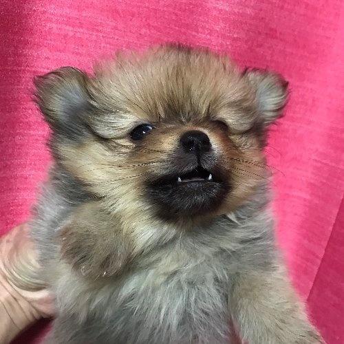 ポメラニアンの子犬(ID:1257411095)の1枚目の写真/更新日:2020-04-15