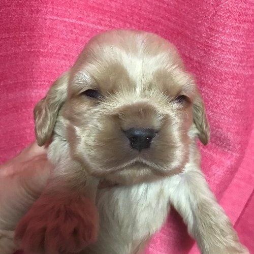 アメリカンコッカースパニエルの子犬(ID:1257411100)の1枚目の写真/更新日:2020-04-15