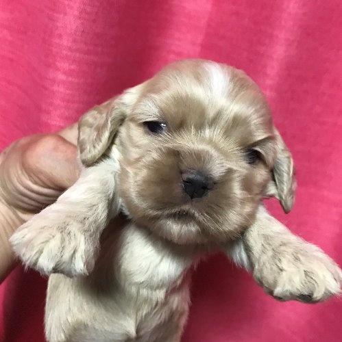アメリカンコッカースパニエルの子犬(ID:1257411101)の1枚目の写真/更新日:2020-04-15