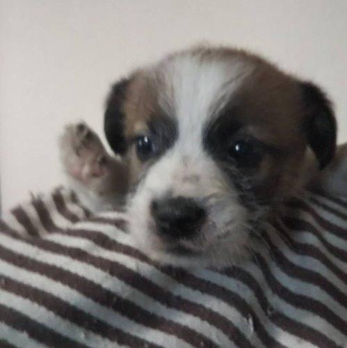 ジャックラッセルテリアの子犬(ID:1257411104)の1枚目の写真/更新日:2020-05-07