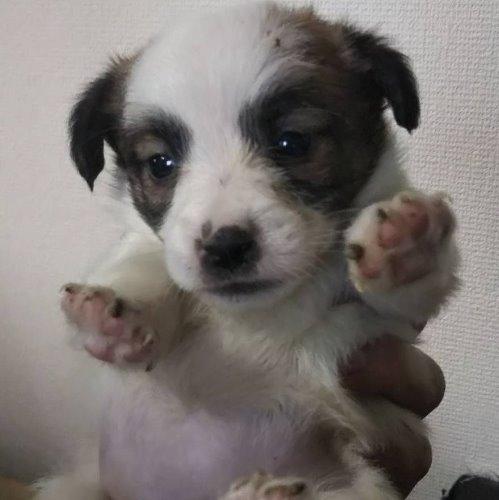 ジャックラッセルテリアの子犬(ID:1257411107)の1枚目の写真/更新日:2020-05-07