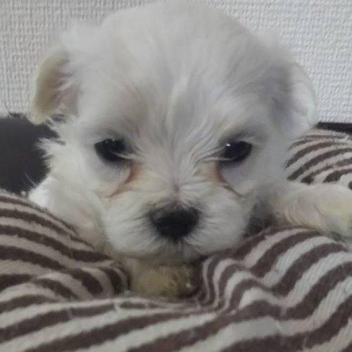 マルチーズの子犬(ID:1257411108)の1枚目の写真/更新日:2020-05-07
