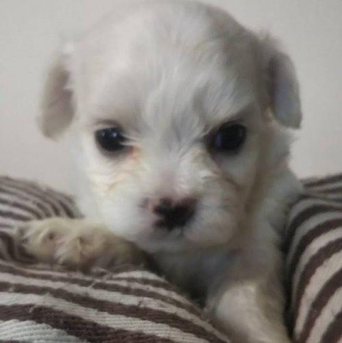 マルチーズの子犬(ID:1257411110)の1枚目の写真/更新日:2020-05-07