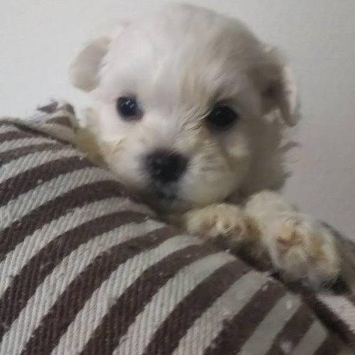 マルチーズの子犬(ID:1257411111)の1枚目の写真/更新日:2020-05-07